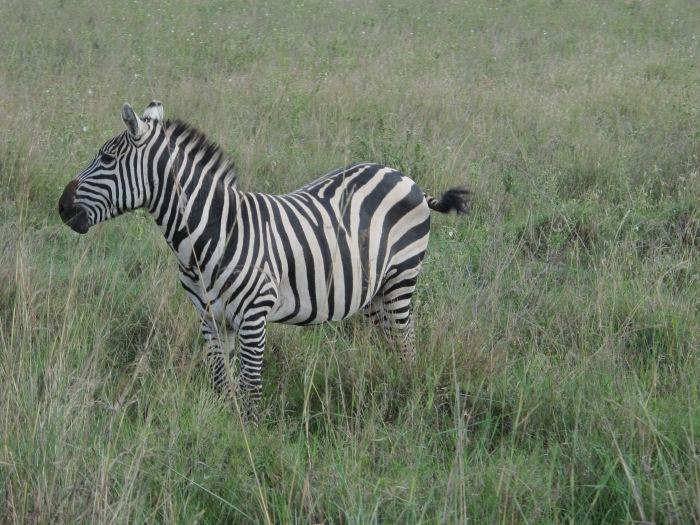 Nairobi zebra!